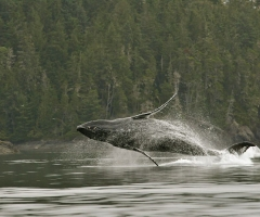I'm a porpoise, I'm a whale, I'm a porpoiseful whale, Knight Inlet Lodge, credit Robert Scriba