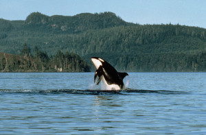 Even killer whales like to frolic, credit Destination BC