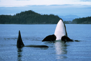 Orcas at play near Port Hardy, credit Destination BC