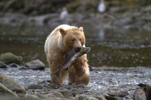 "Rare ""Spirit Bear,"" Great Bear Rainforest, credit Spirit Bear Lodge"