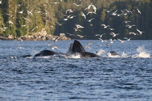 humpback whales bubblenetting - credit Pacific Yellowfin